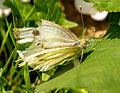 A tatty white butterfly.jpg