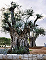 A very old Olive Tree (4012287961).jpg