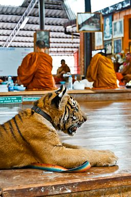 A young tiger sits while the monks eat breakfast at the Tiger Temple