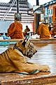 A young tiger sits while the monks eat breakfast at the Tiger Temple.jpg