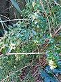 Abelia X Grandiflora 5.jpg
