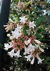 Abelia x grandiflora - Μεγανθής αμπέλια.jpg