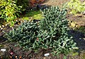 Abies forrestii var. georgei - Oregon Garden - Silverton, Oregon - DSC00295.jpg