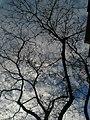 Acàcia del Japó del carrer del Mas Duran P1500896.jpg