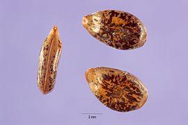 Acacia constricta seeds.jpg