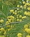Acacia dealbata 12.jpg
