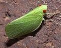 Acanalonia conica P1300220a.jpg