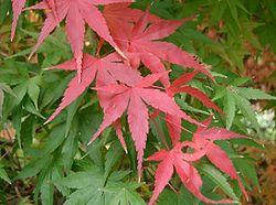 Φύλλα ενός ιαπωνικού σφενταμιού