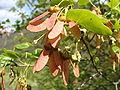 Acer monspessulanum.001 - Serra de Enciña de Lastra.JPG