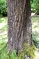 Acer monspessulanum in Christchurch Botanic Gardens.jpg