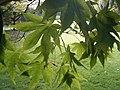 Acer palmatum 'osakazuki' 01-10-2005 14.11.22.JPG