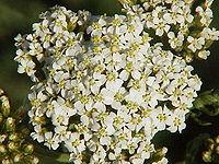 Achillea asplenifolia0