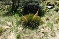 Aciphylla aurea kz11.jpg