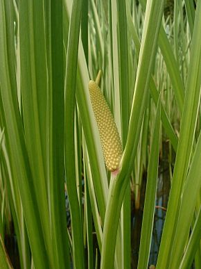 Description de l'image  Image:Acorus calamus1.jpg .