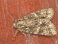 Acronicta rumicis - Knot grass - Стрельчатка щавелевая (41011916532).jpg