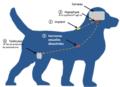 Action de la desloréline sur le chien.tiff