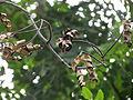 Adenanthera pavonina 03.JPG