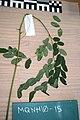 Adenanthera pavonina L. (AM AK320140).jpg
