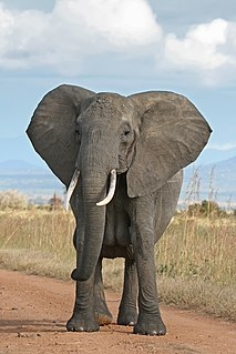 Elephant Large terrestrial mammals with trunks from Africa and Asia
