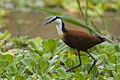 African Jacana - Barin go - Kenya NH8O0230 (15375460159).jpg