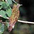 African emerald cuckoo (Chrysococcyx cupreus) female 2.jpg