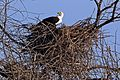 African fish eagle (Haliaeetus vocifer) on nest.jpg