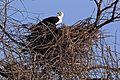 African fish eagle (Haliaeetus vocifer) on nest.jpg