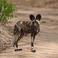 African painted dog, Lycaon pictus (38916565002).jpg