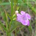 Agalinis paupercula.jpg