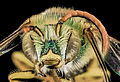 Agapostemon virescens, M, face, Mesa Co,. Colorado 2014-01-08-14.46.52 ZS PMax (11898964714).jpg