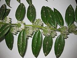 Agarista populifolia 4.JPG