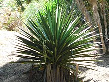 Agave tequilana F.A.C. Weber 2013 cropped.jpg