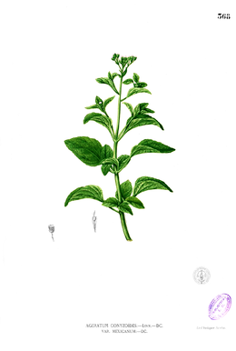Ageratum conyzoides Blanco2.368.png