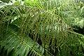 Aglaomorpha meyeniana kz4.jpg