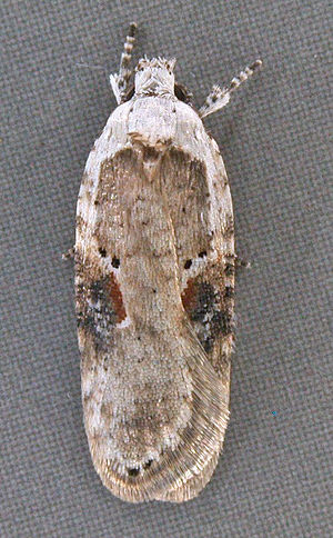 Agonopterix alstroemeriana - An image of an adult A. alstromeriana showcasing its coloration