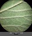 Agrimonia procera sl5.jpg