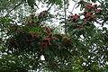 Ailanthus altissima (female).jpg
