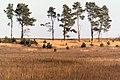 Airy pines - panoramio.jpg