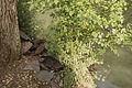 Aix galericulata (Canard mandarin) - 364.jpg