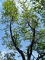 Albero monte cecilia.JPG