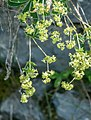 Alchemilla alpigena in Haute-Savoie (1).jpg