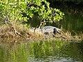 Alligator mississippiensis Flickr - NOAA Photo Library.jpg