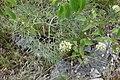 Allium albidum 04.jpg