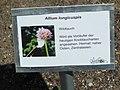 Allium longicuspus.jpg