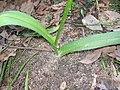 Allium roseum hojas.jpg