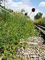 Allium rotundum sl28.jpg