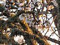 Almendro en Flor V (4325073667).jpg