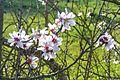 Almond blossom 172 (32710903154).jpg