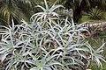 Aloe arborescens 3zz.jpg