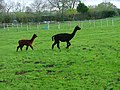 Alpacas in a Paddock at Scaling - geograph.org.uk - 77937.jpg